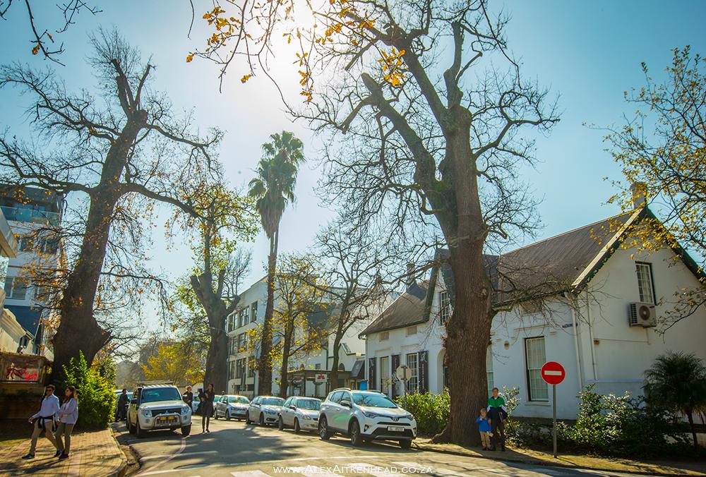 Ryneveld Street Oaks